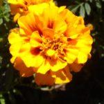 """oeillet d'inde orange pour plantes """"compagnes"""""""