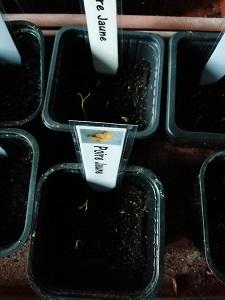 Poire jaune semis filés pour éviter que les semis de tomate filent