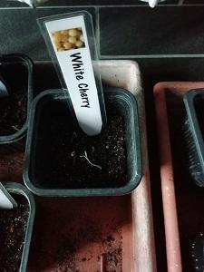 WC semis germé pour l'enceinte de croissance pour semis
