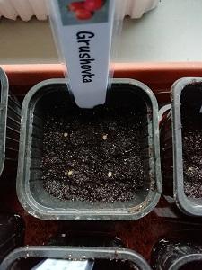 4 graines semées pour réaliser les semis de tomates