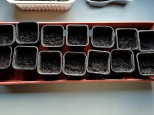 godet terreau humide pour réaliser les semis de tomates