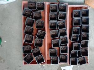 godet pret avec terreau pour réaliser les semis de tomates