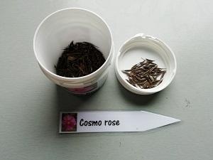 graines de cosmos rose