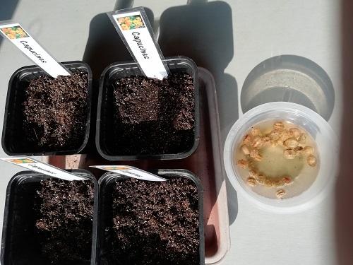 """graine capucine avec godet pour semer les plantes """"compagnes"""""""