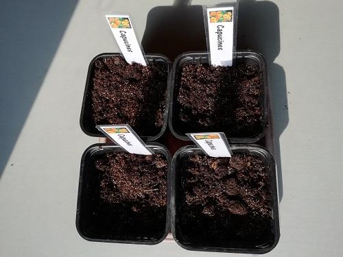 """graine capucine semée pour semer les plantes """"compagnes"""""""