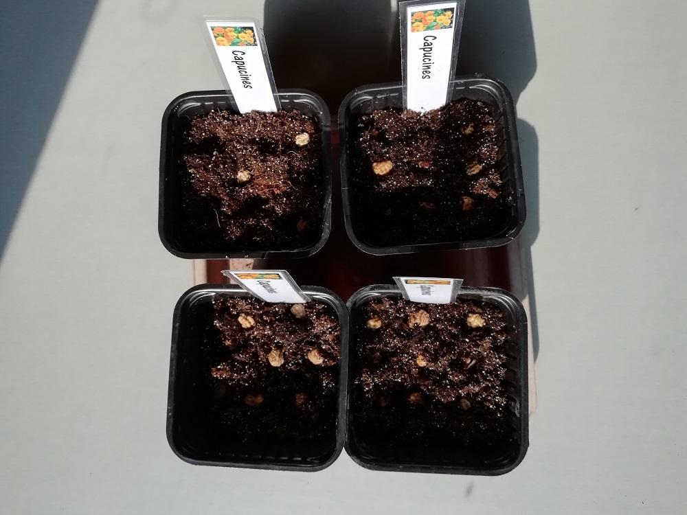 """graine dans godet pour semer les plantes """"compagnes"""""""