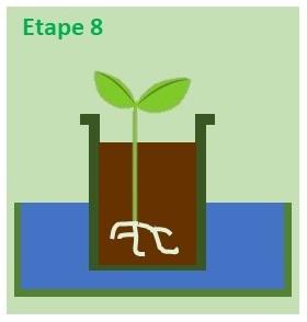 bac d'eau pour repiquer les semis de tomate