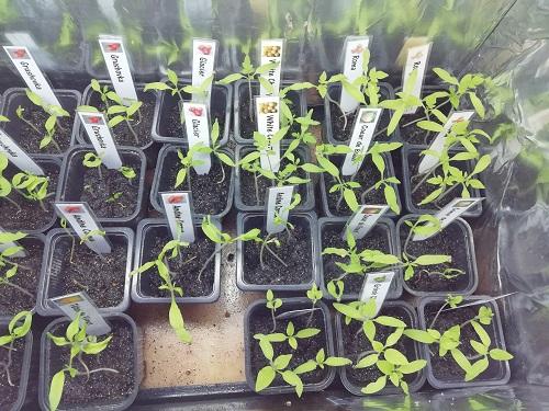 semis dans EC1 pour mettre les semis de tomate dans les serres froides