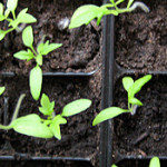 semis de jardinier pro pour mettre les semis de tomate dans les serres froides