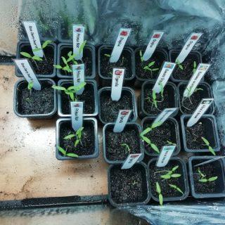 semis germés dans enceinte de croissance pour semis