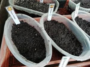 """semis de soucis pour planter les plantes """"compagnes"""""""