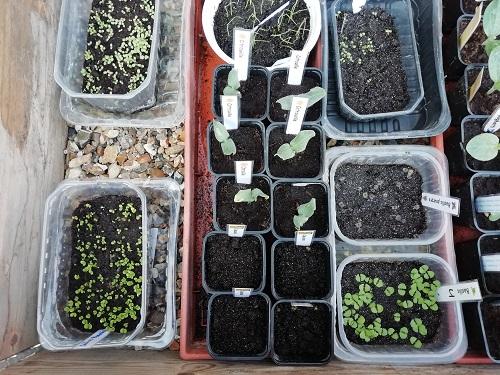mettre les semis de tomate en serre froide BD