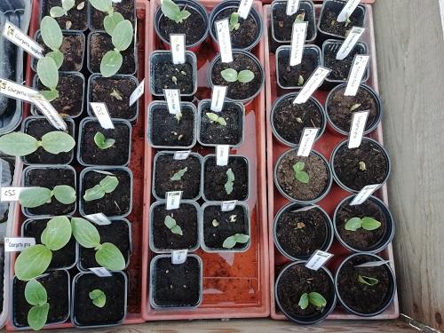 mettre les semis de tomate en serre froide 1 BG