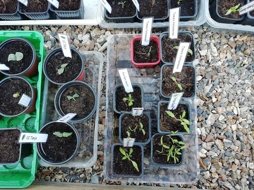 mettre les semis de tomate en serre froide 5 BG