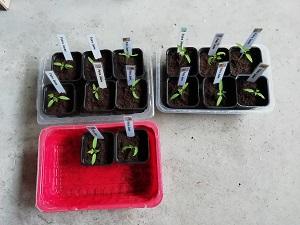 repiquer les semis de tomate PJ tous