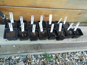 semis morts après rempotage