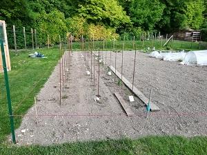 ligne de tomates 3 plantée