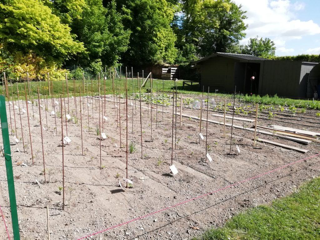tomates toutes plantées
