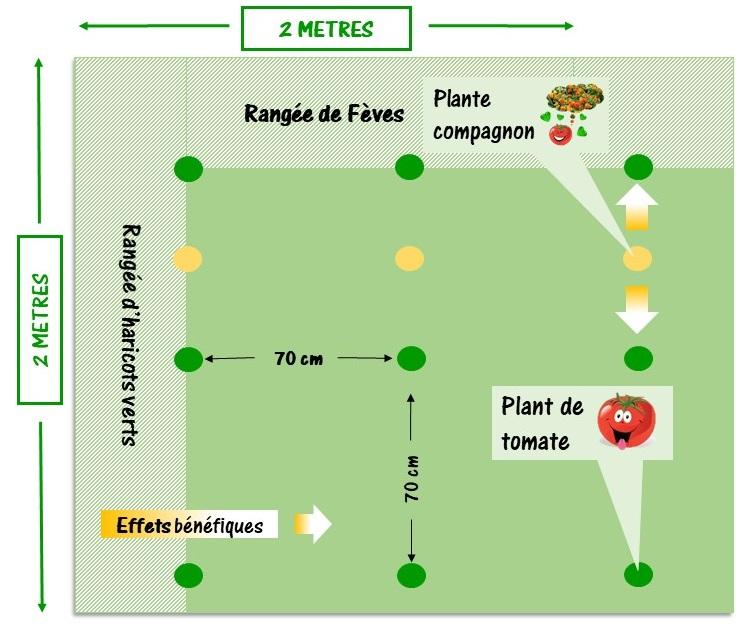 réaliser un plan de jardin vec les plantes compagnes