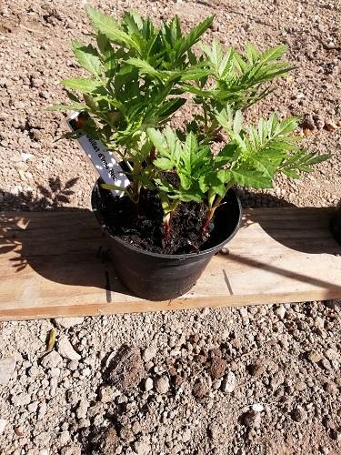 plante compagnon à planter