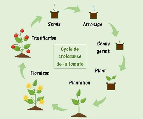 booster la croissance des plants de tomates le cycle de croissance