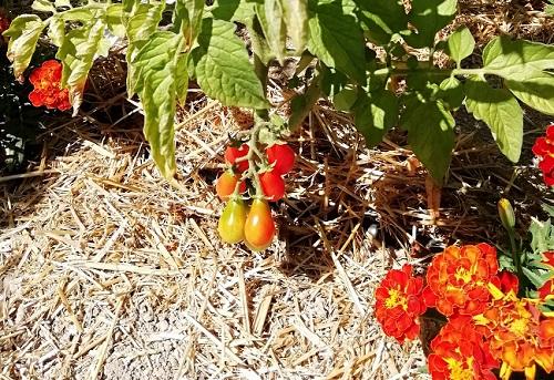 récolte poire rouge