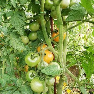 IC 2 AJ tomates inconnues