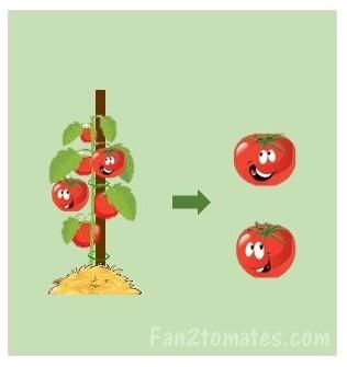 sélection des tomates