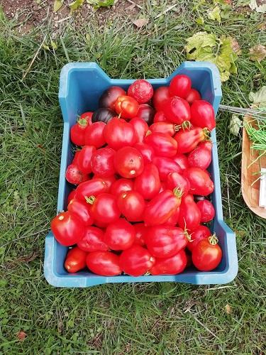 récolte avant de ranger le matériel à tomates