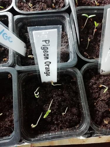 semis germés PigO