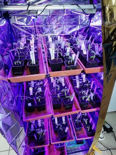 Nouvelle enceinte de culture pour les semis de tomates