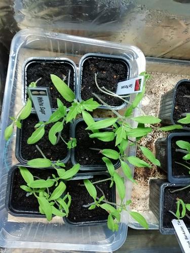 plant de tomate dans EC1