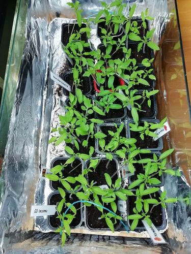 plant de tomate EC2