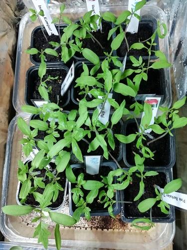 plants de tomate EC3