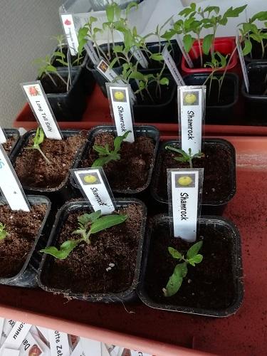 plant de tomate rempotés