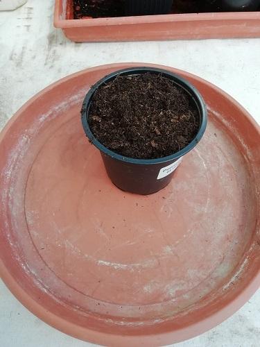 1 dose de terreau pour rempoter les plants de tomates