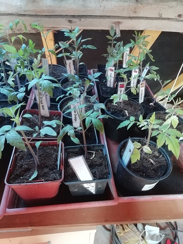 plants avant rempoter les plants de tomates 5