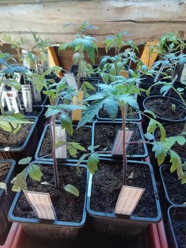 plants avant rempoter les plants de tomates 1