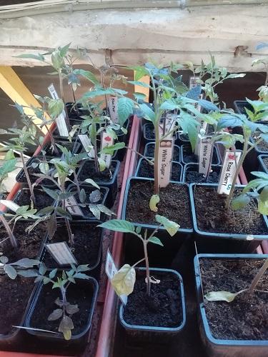 plants avant rempoter les plants de tomates