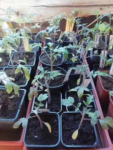 plants avant rempoter les plants de tomates 3