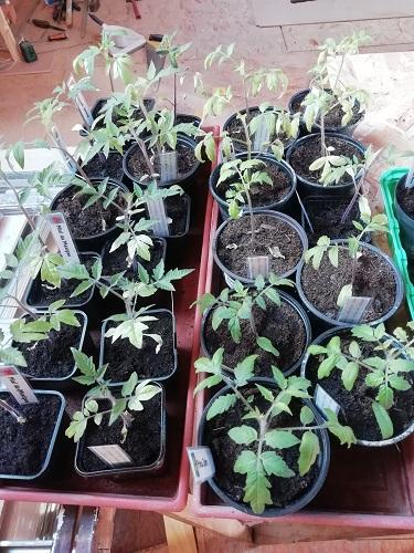 plants avant rempoter les plants de tomates 6