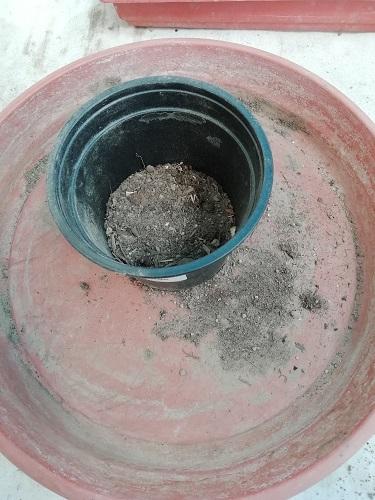 substrat dans godet pour rempoter les plants