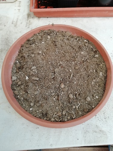 substrat prêt pour rempoter les plants de tomates