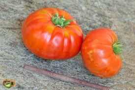 Bea pour préparer la plantation des tomates