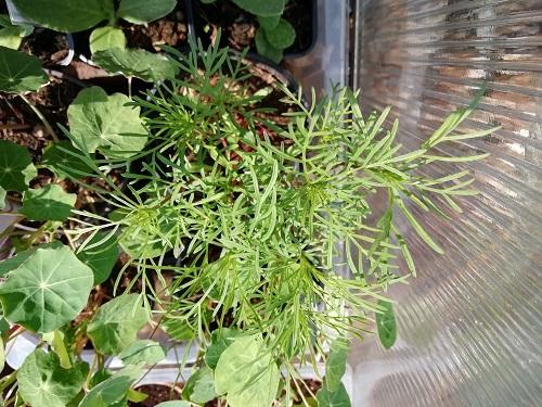 cosmo pour rempoter les plants de tomates