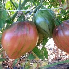 CH pour préparer la plantation des tomates