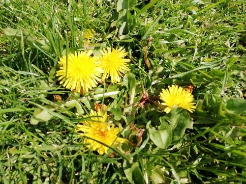 fleur de pissenlit pour purin de pissenlit
