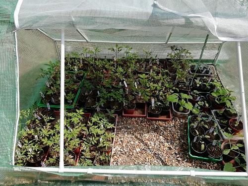 Rempoter les plants de tomates