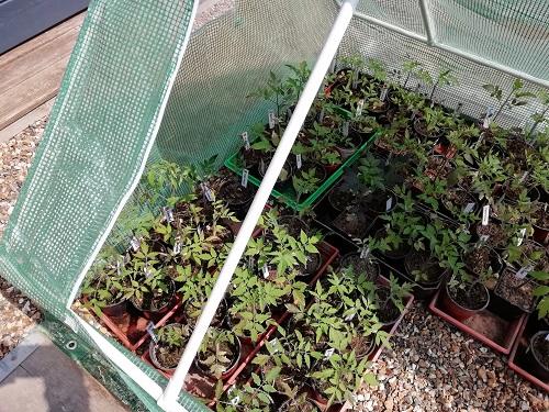 plant dans new serre froide 2 pour rempoter les plants de tomates