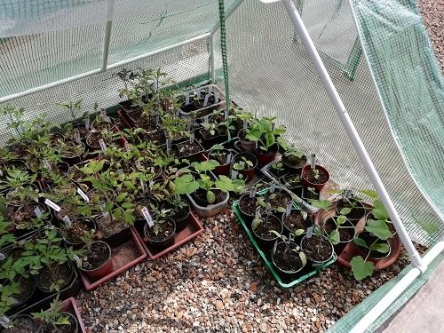 plant dans new serre froide 3 pour rempoter les plants de tomates